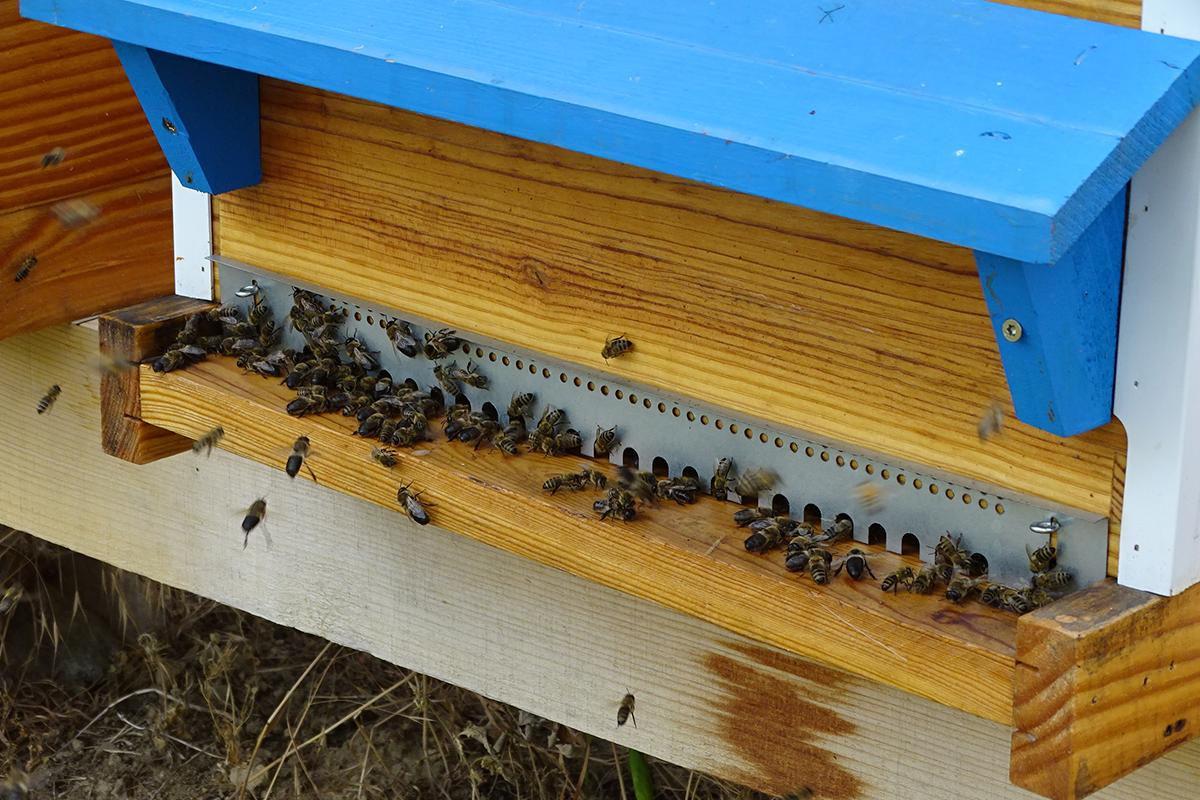 abeilles-sur-le-plancher-d-envol