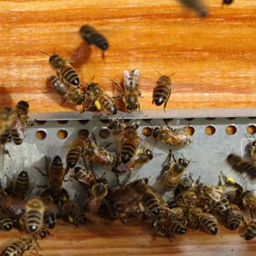 abeilles-sur-ruche