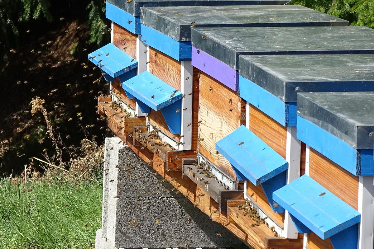 activité-des-abeilles-devant-les-ruches