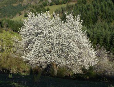 merisier-en-fleurs