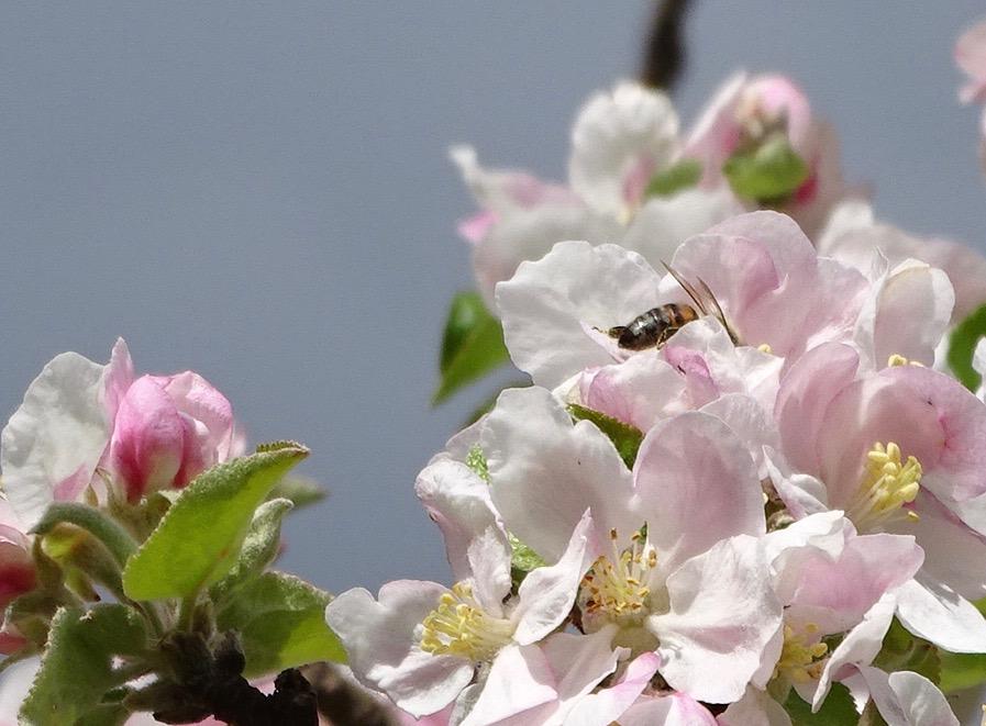 abeille-butinant-sur-fleurs-de-pommier