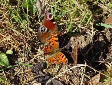 trois-especes-de-papillons-ensemble