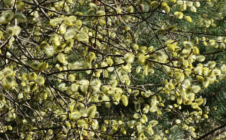 pollen-saule-marsault