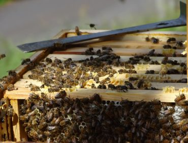 abeilles-sur-cadres
